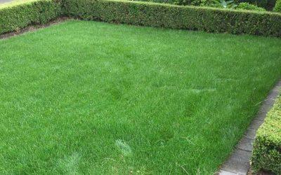 RTF Tall Fescue Lawn